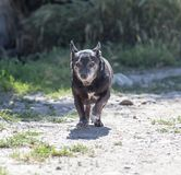 Black dog on the run. In the park in nature royalty free stock photos
