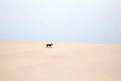 Black dog running Stock Image