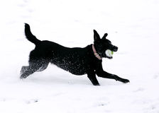 Black dog running. Black dog with ball with ball in snow Royalty Free Stock Photo