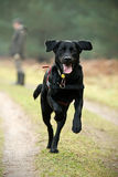 Black Dog Running Royalty Free Stock Image