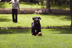 Black dog running after a ball, man playing with dog Stock Photography