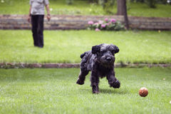 Black dog running after a ball, man playing with dog Royalty Free Stock Photo