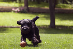 Black dog running after a ball, man playing with dog Stock Photo