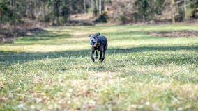 Black dog running with a ball Royalty Free Stock Photos
