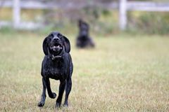 German Shorthair Pointer dog running Royalty Free Stock Photography