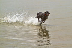 Black dog running fast in ocean water Stock Image