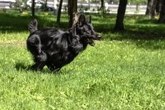 Black dog is running. On grass in summer Royalty Free Stock Images