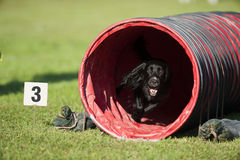 Black dog running out of the red tunnel on agility stock image
