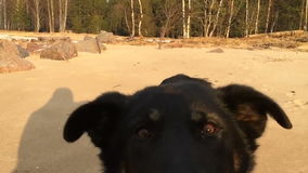 Black dog running on the sand directly into the camera lens direction.