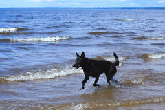 A black dog runs through the shallow waters of the bay.  royalty free stock photo