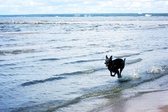 A black dog rushes through the shallow waters of the bay.  royalty free stock photography