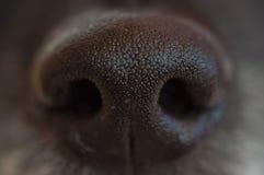 Black dog`s wet nose stock image