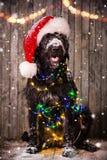 Black dog in santa cap Stock Photography