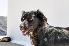 Black dog on Santorini Stock Photography