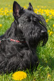 Black dog Scottish Terrier breed Royalty Free Stock Photography