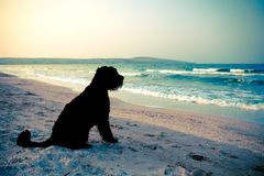 Black dog at the sea. Black dog (giant schnauzer) watching at the twilight sea, split-toned stock photography