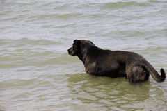 Black dog in the sea. Black dog comes into the sea to swim Stock Images