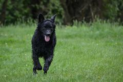 A black dog shepherd runs on the meadow. Funny Stock Image