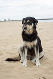 Black dog sit on beach Royalty Free Stock Images
