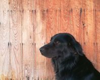 Black dog sit down with wooden background and texture. Closeup photo black dog sit down with wooden background and texture Stock Photo