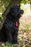 The black dog Stock Image