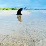 Black dog sits alone at the beach. Old dog, high tide, resting on sand Stock Images