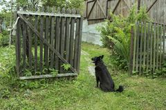 A dog sits at an open wooden gate and waits stock photo
