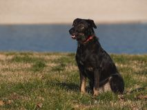 Black Dog Sitting Royalty Free Stock Photography