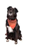 Black Dog Sitting. A black German Sherphard / Border Collie mix sitting on white, wearing a bandana Royalty Free Stock Photos