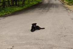 Black dog sitting on the asphalt road waiting for a car to kill him. Suicidal dog stock photo