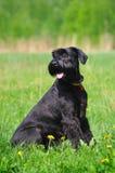 Black dog sitting on grass Stock Image