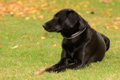 Black dog sitting on the lawn Stock Images