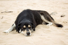Black dog sleep on beach Royalty Free Stock Photo