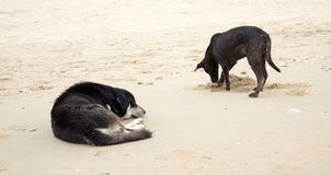 Black dog sleep on beach Stock Photography