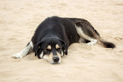 Black dog sleep on beach Royalty Free Stock Photos