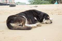 Black dog sleep on beach Royalty Free Stock Image