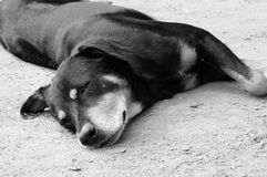Black dog is sleep on ground Stock Photography