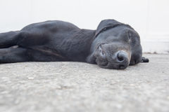 Black dog sleeping Royalty Free Stock Photo