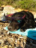 Black dog sleeping in the sun with glasses stock images