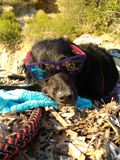 Black dog sleeping in the sun with glasses stock photography