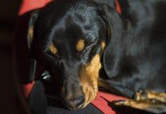 Black dog while he sleeps Royalty Free Stock Image