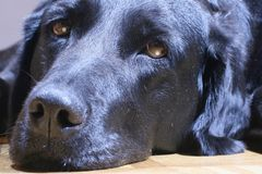 Black dog sleepy Royalty Free Stock Image