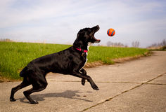 Black dog snapping at orange ball in mid air Royalty Free Stock Photo