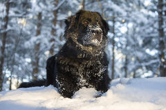 Black dog Royalty Free Stock Images
