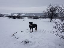 Black dog in the snow stock images
