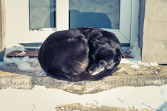 Black dog in the snow Royalty Free Stock Photography