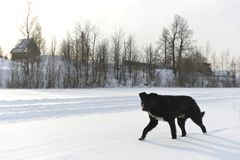 The black dog  on snow. Royalty Free Stock Photos