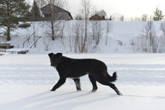 The black dog  on snow. Stock Photos