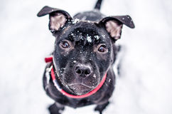 Black dog. Black staffordshire terrier with red collar Stock Photo
