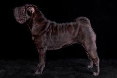 Black Dog Standing on Black Background Stock Photo